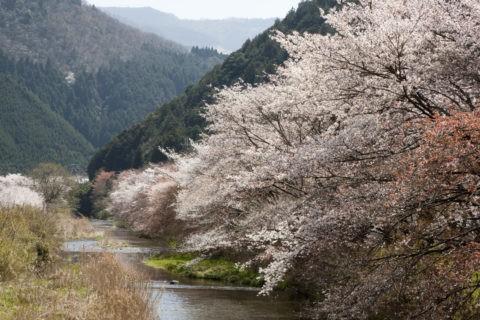 八瀬 桜の高野川