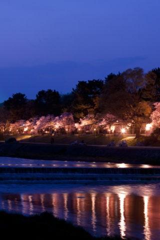 賀茂川 半木の道 夜桜