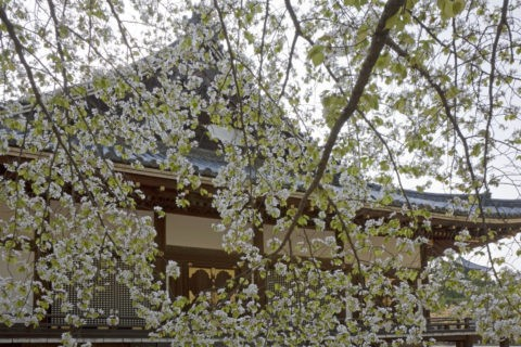 桜と仁和寺金堂 w