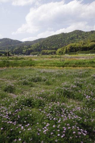 嵯峨野レンゲ畑