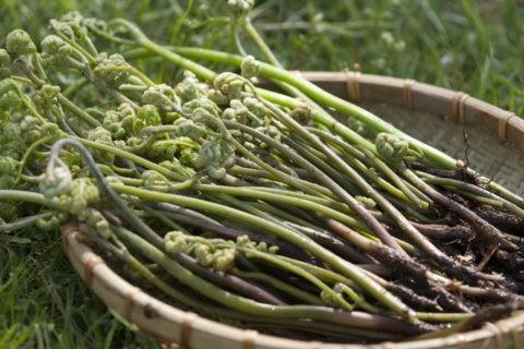 山菜 ワラビ