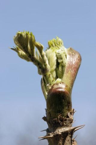 木の芽 タラノキ