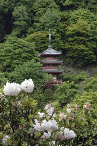 シャクナゲと三室戸寺三重塔