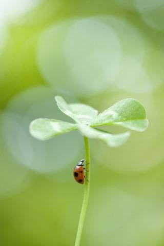 テントウムシと四つ葉のクローバー
