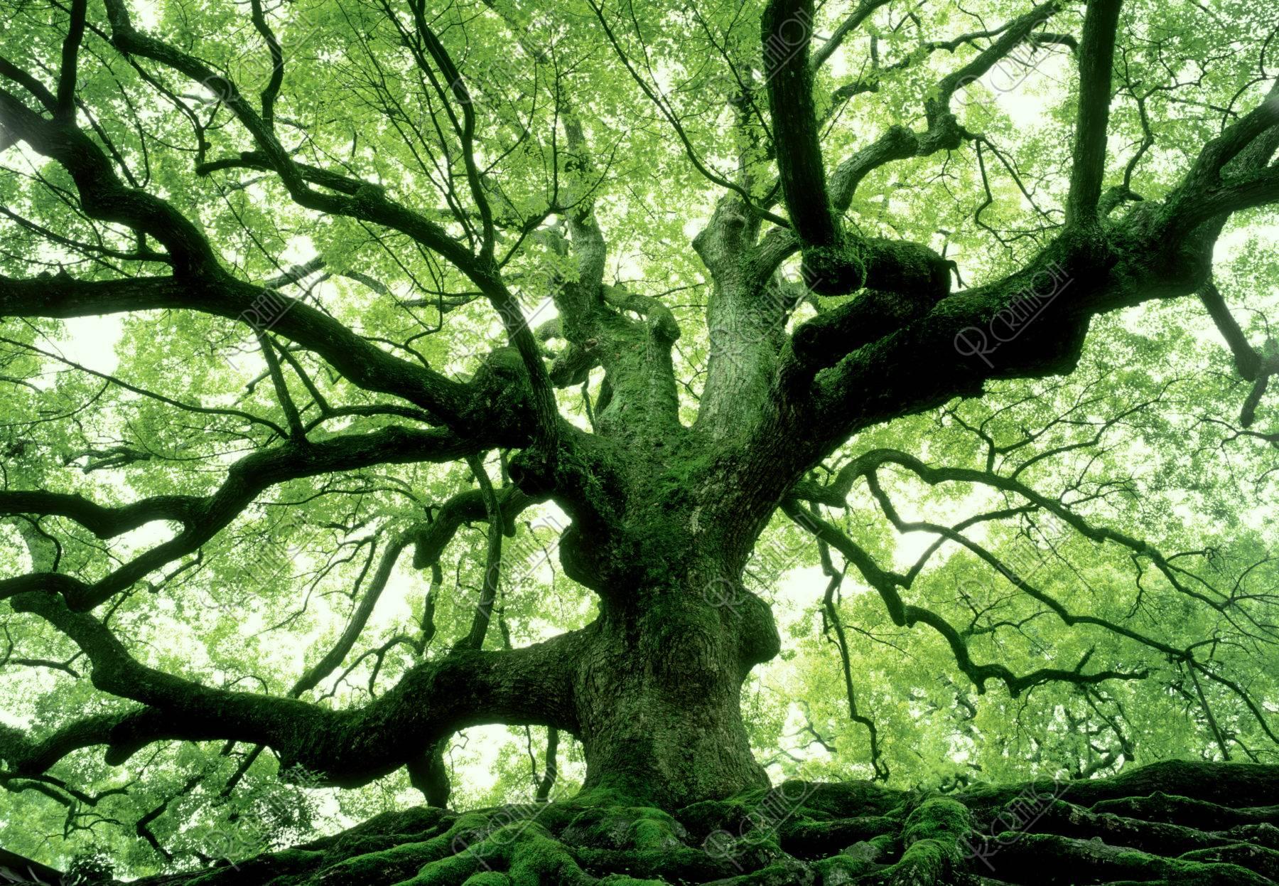 青蓮院 楠の大木