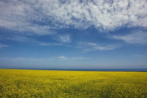 青海湖と菜の花