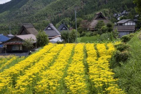 オミナエシと家並み 越畑