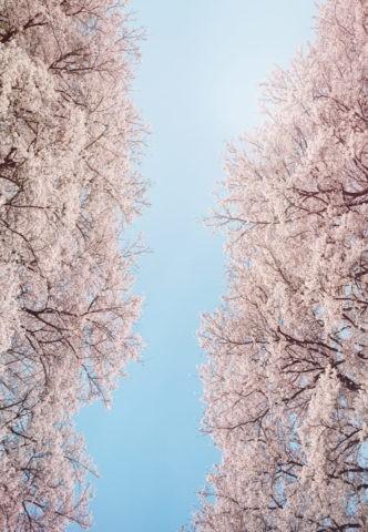 桜並木から見上げた空