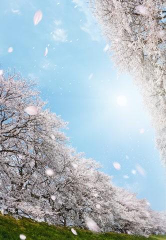 桜吹雪の背割り桜