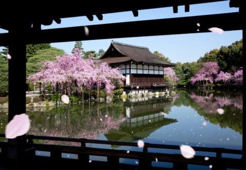 平安神宮神苑の桜吹雪