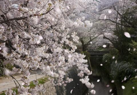 哲学の道に舞う桜吹雪