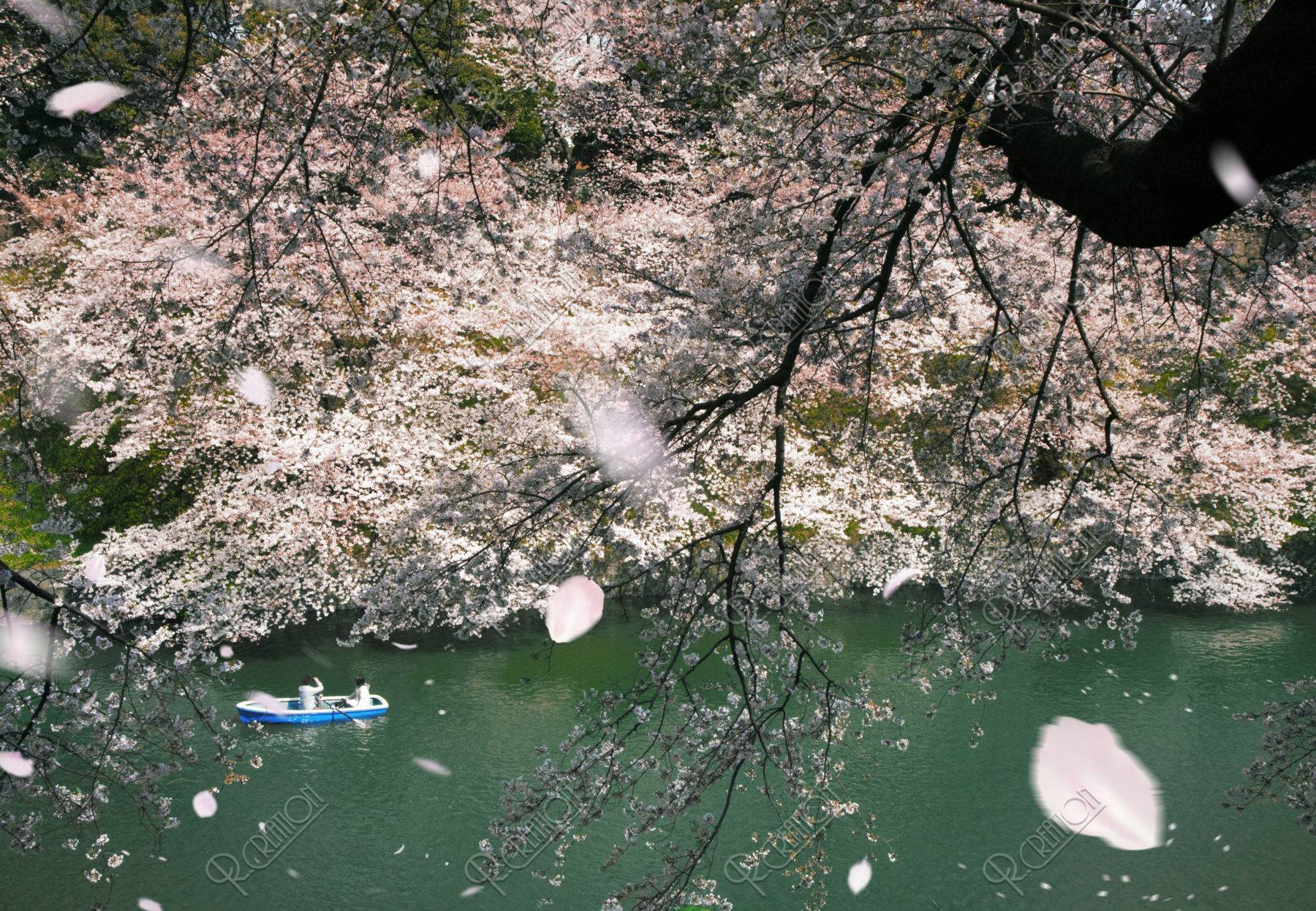桜吹雪の千鳥ケ淵