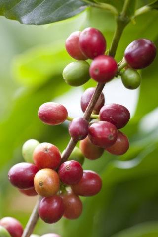 コーヒーの実 (アラビカ種)