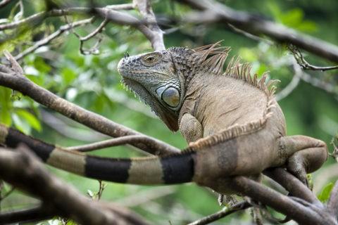樹上のイグアナ