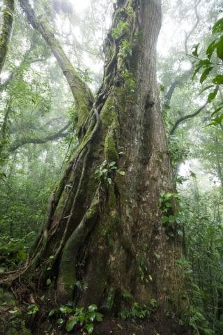 熱帯雲霧林 絞め殺しの木