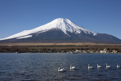 富士山と山中湖のコブハクチョウ
