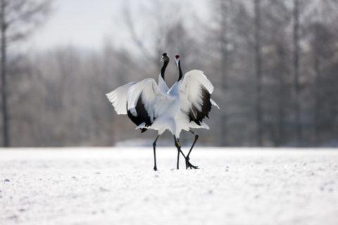 タンチョウの求愛ダンス