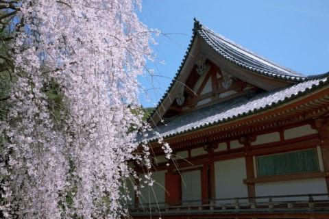 醍醐寺国宝金堂と桜 世界遺産