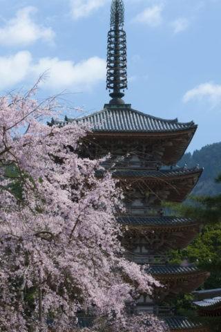 醍醐寺国宝五重塔と桜 世界遺産