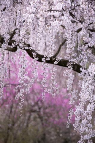 京都御苑近衛の桜