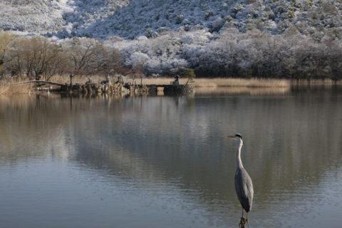 広沢池雪景色とアオサギ