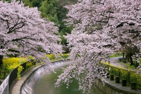 山科疏水の桜と菜の花