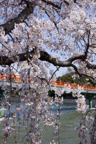 宇治朝霧橋と桜