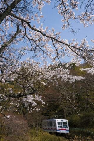 叡山ケーブルカーと桜