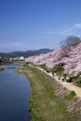 高野川と桜並木