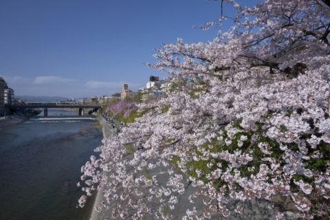 鴨川四条大橋と桜
