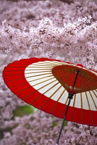 蛇の目傘と桜