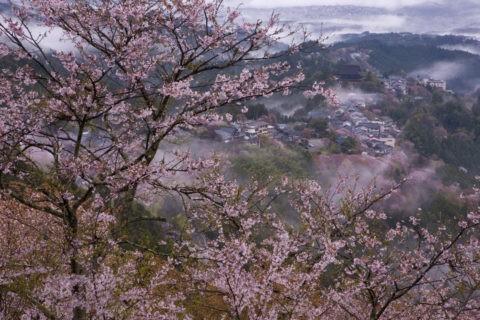 吉野 上千本からの桜 世界遺産