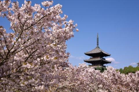 仁和寺の桜 世界遺産