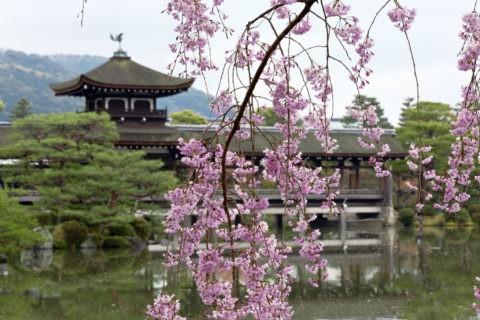 平安神宮 橋殿と桜