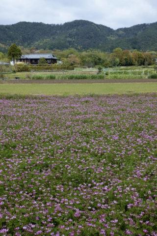 嵯峨野 レンゲ畑