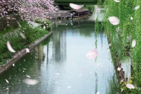 伏見十石船とヤナギと桜