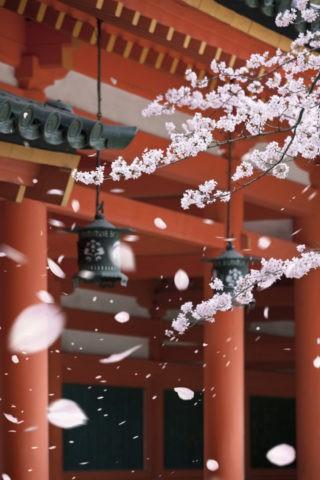 平安神宮回廊と桜