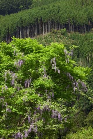 北山杉とヤマフジ