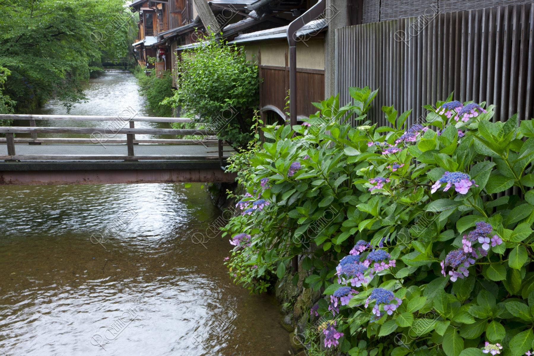 祇園白川と紫陽花