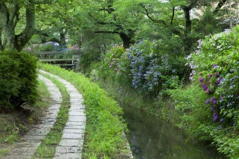 哲学の道と紫陽花