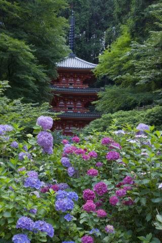 岩船寺のアジサイ