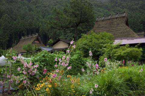 タチアオイと茅葺き民家 美山町