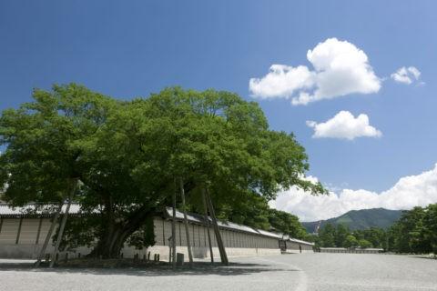 京都御所 ムクノキ