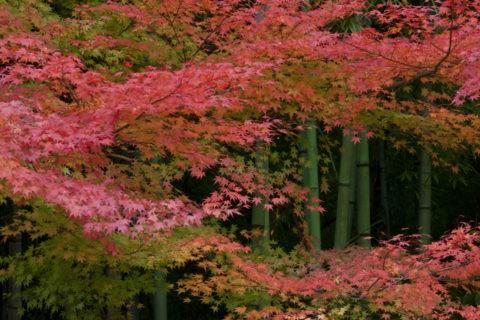 紅葉 竹林