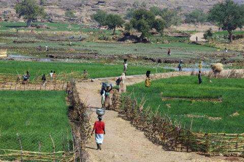 タマネギ畑と水汲み女性