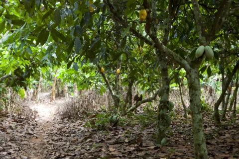 カカオ農園