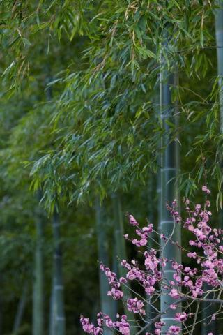 竹林 紅梅