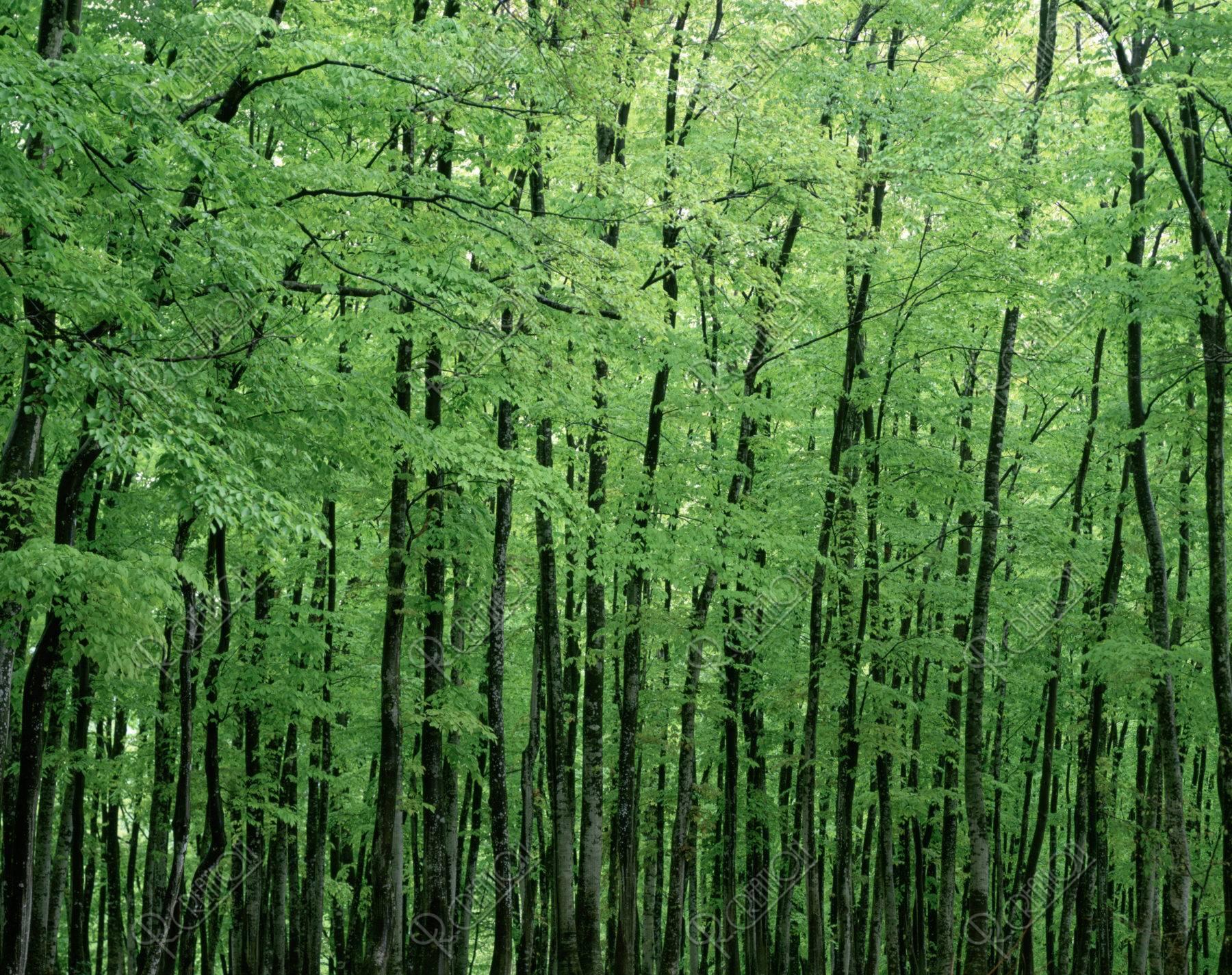 松之山 ブナ林