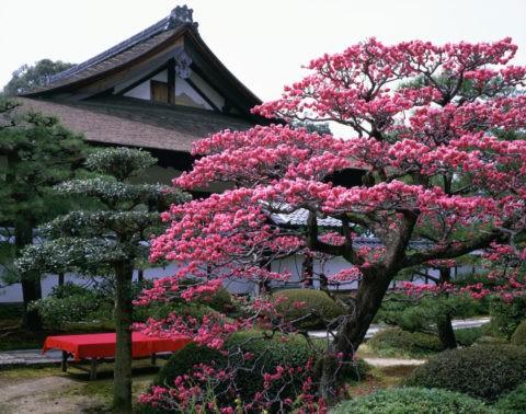 雲龍院の紅梅