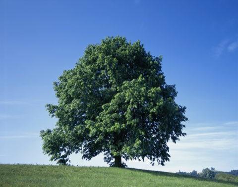 丘にある一本の木 スイス